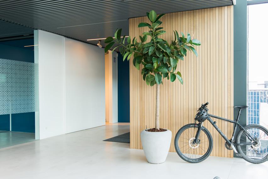 Stor grøn plante, Ficus elastica