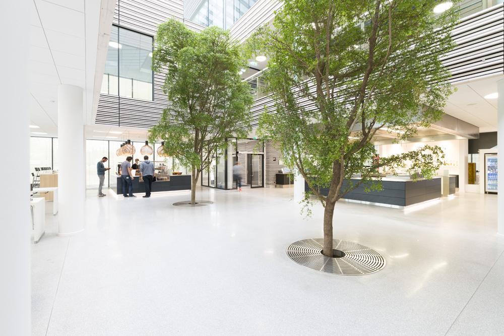 sort oliven, eksotiske træer, indeklimaet, indendørs træ, bucida, buchida,