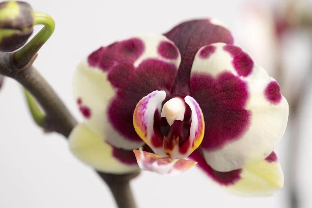 2-farvet-Phalaenopsis,