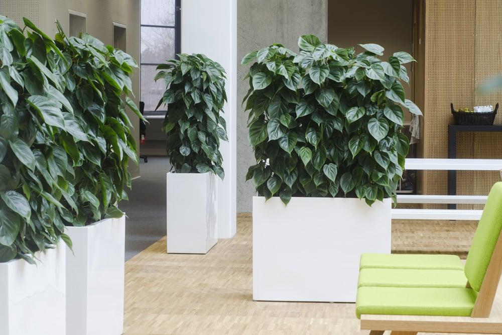 Hvide aflange krukker med høje grønne planter