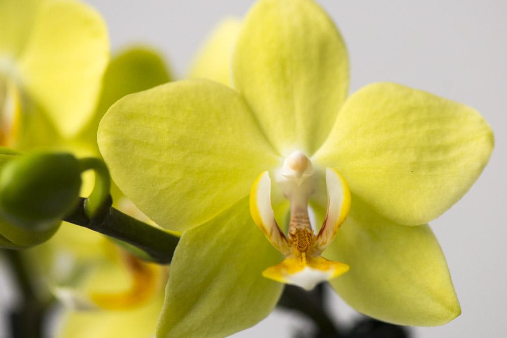 Gul-Phalaenopsis