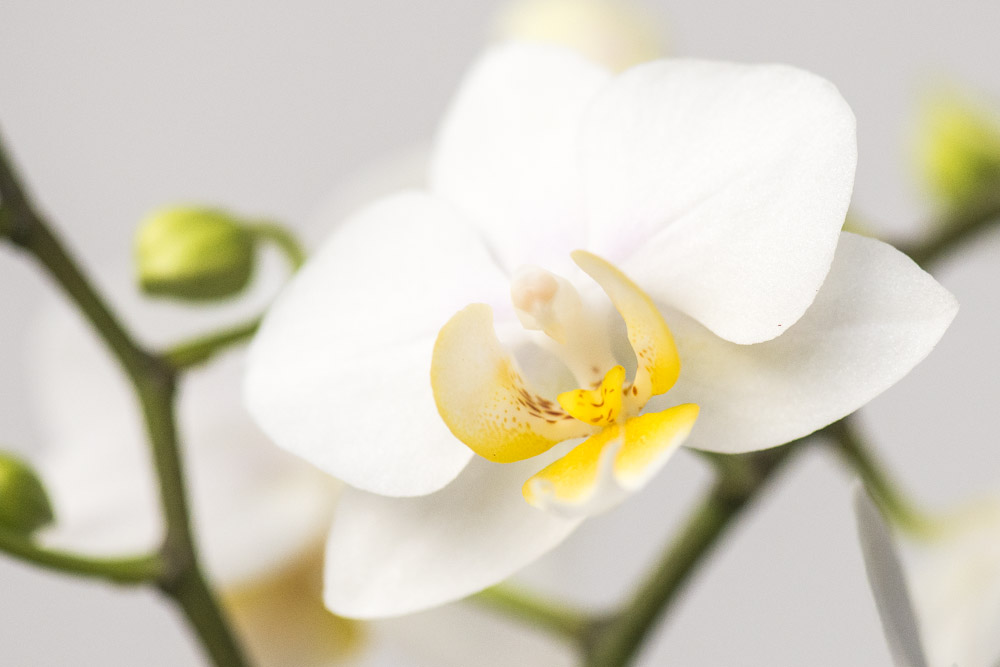 Hvid-Phalaenopsis