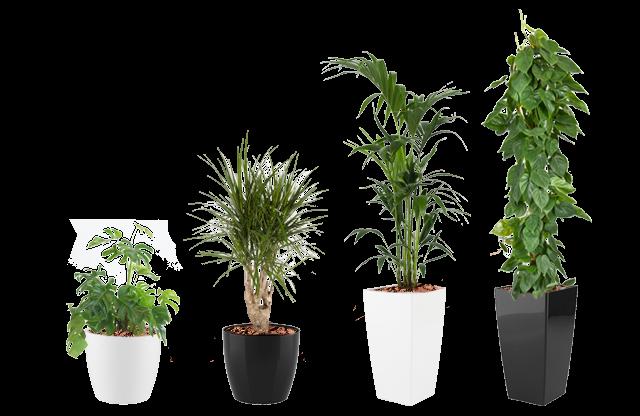 Leje planter, kontor planter, sort og hvide potter, grønne planter, kontorbeplantning, lej planter