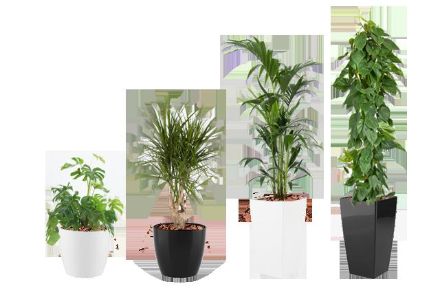 Lej planter, leje af planter, kontor planter, sort og hvide potter, grønne planter, kontorbeplantning, lej planter