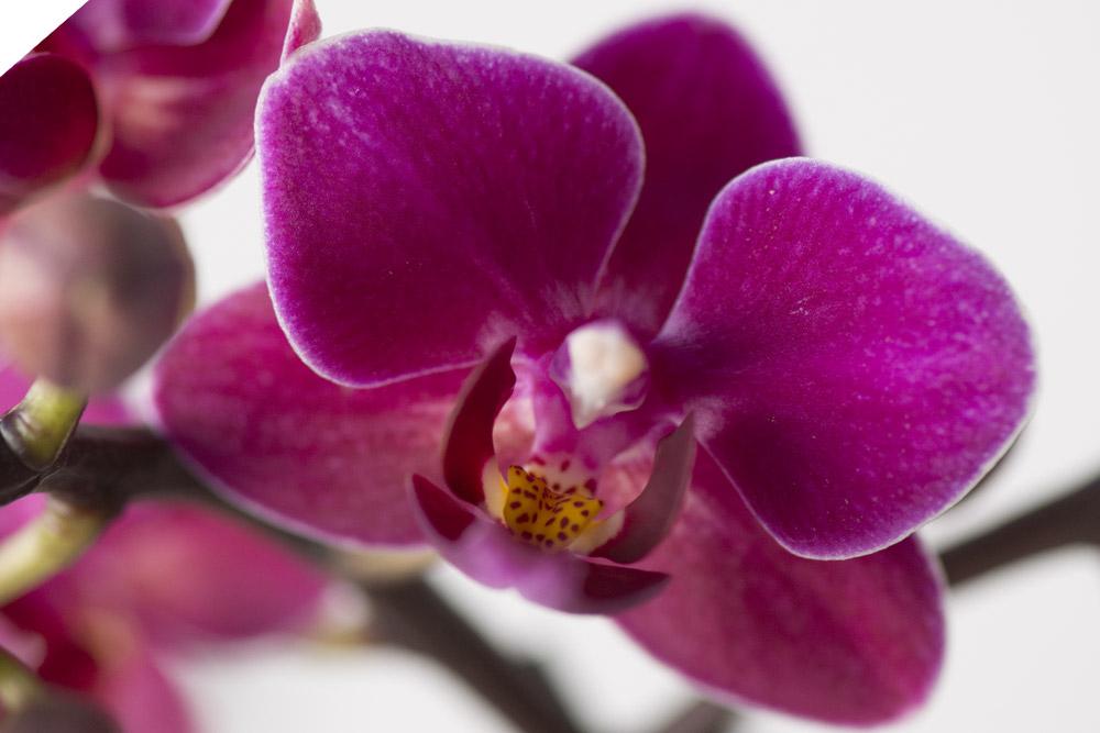 Lillal-Phalaenopsis,