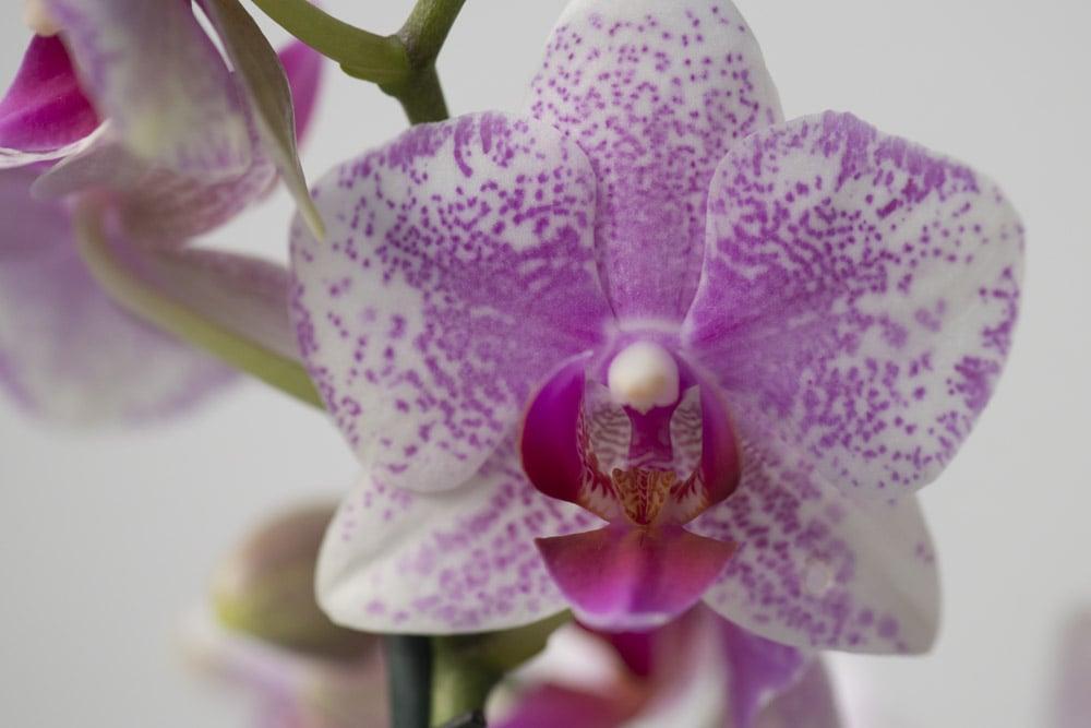 Lyserød-Phalaenopsis,