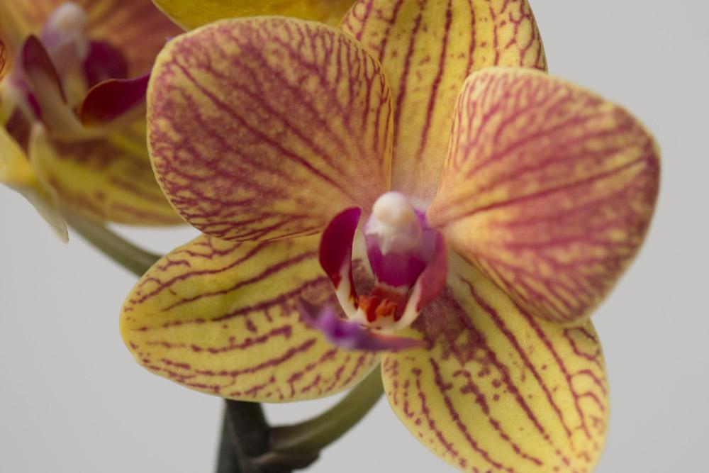 Orange-Phalaenopsis,