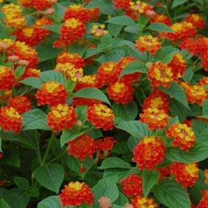 gule lantana, sommerblomster