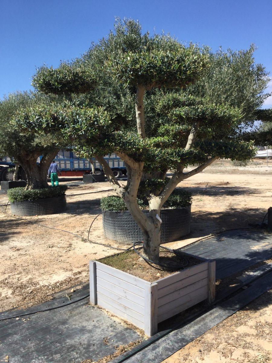 Oliventræ i syden