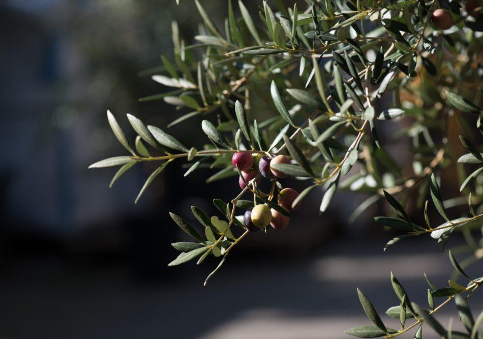 Oliventræ helt tæt på