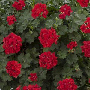 røde pelargonium, sommerblomster