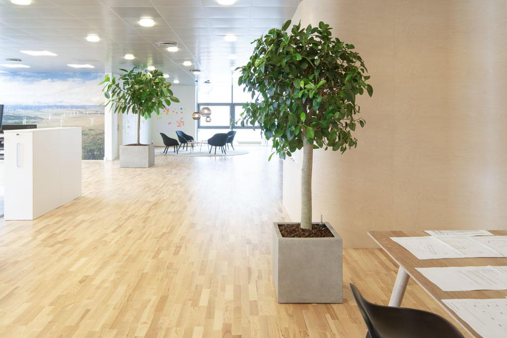 Godt arbejdsmiljø, firkantet krukker, sand farvet krukker, opstammet ficus, planter til kontoret