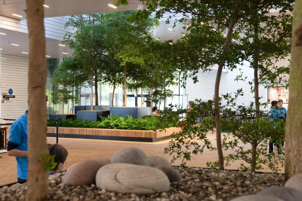 Indendørs træer, træer, store træer, træer til indretning, træ til erhvervplantebede med sort oliven, indendørs træ, bucida, buchida,