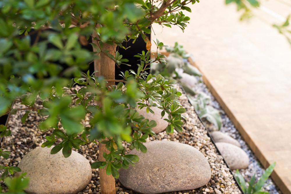 Sort oliven blade, indendørs træ, bucida, buchida,