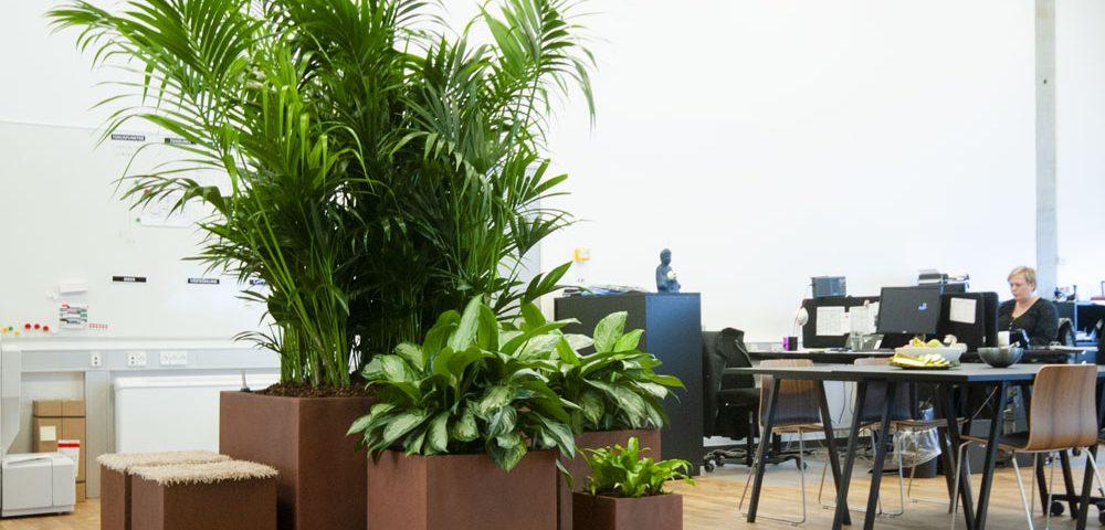 Godt arbejdsmiljø, indendørs plantemiljø. howea, aglaonema, planter til kontoret, godt arbejdsmiljø