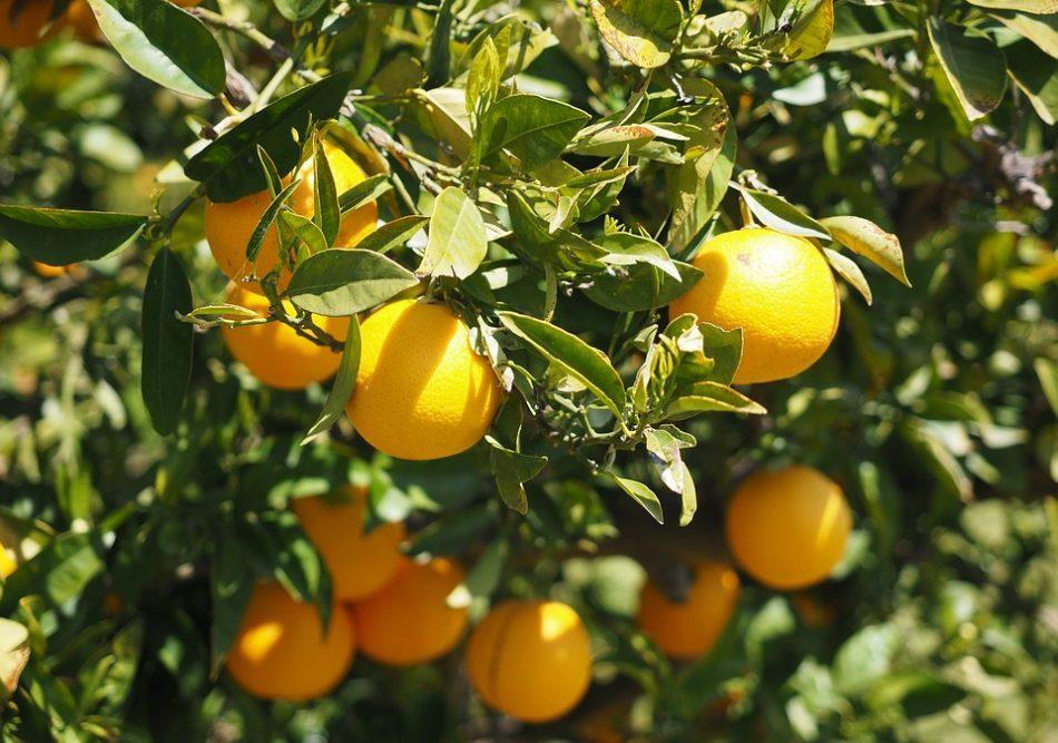 Citrustræer, pixabay, planter du ser sydpå