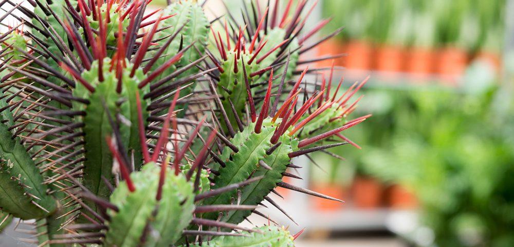 kaktus, kaktusser, tips og tricks, historier, guide, planter på budget