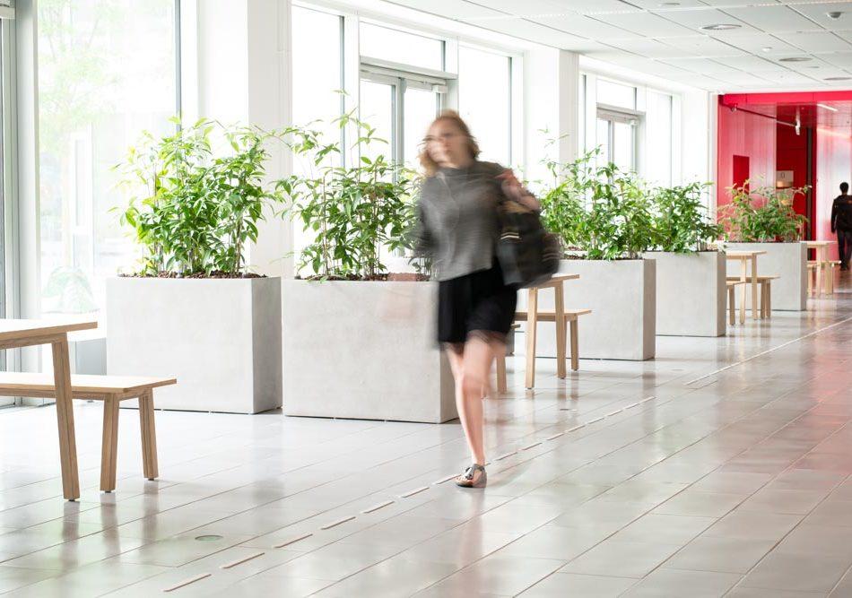 aflange plantekummer, Dracaena surculosa, planter,