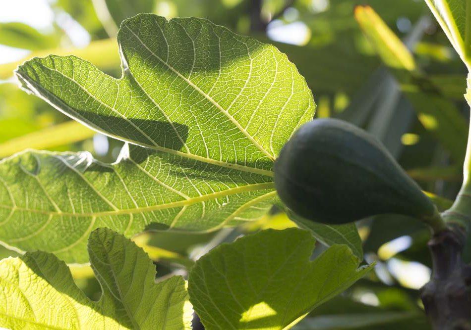 Ficus Carica,