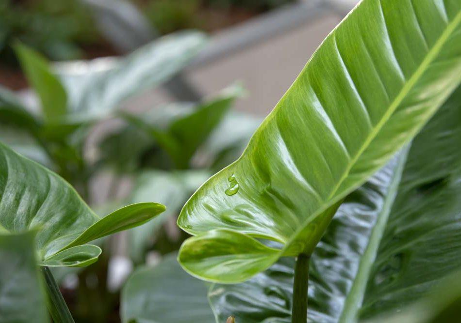 Philodendron, planter, luftfugtighed,