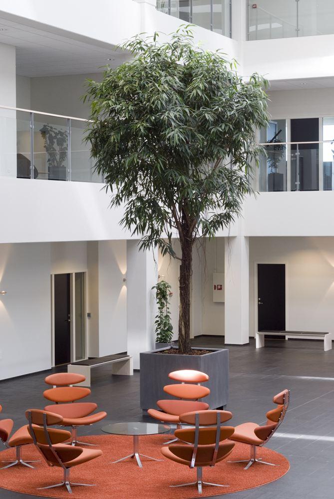 Ficus, Træer til indendørs, stor grøn plante,