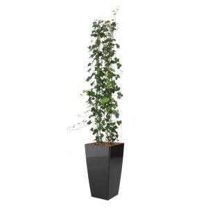 Hedera, luftrensende planter
