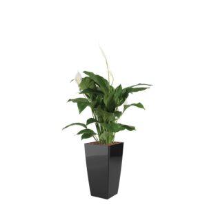Spathiphyllum, fredslilje,