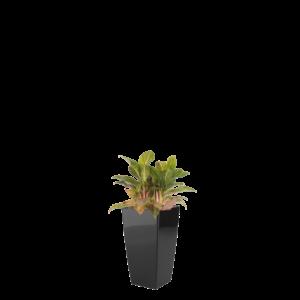 Luftrensende plante, Aglaonema,