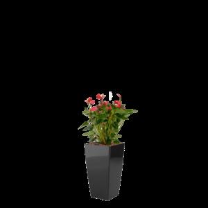 Luftrensende plante Anthurium,