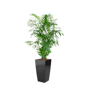 Luftrensende planter, bjergpalme,