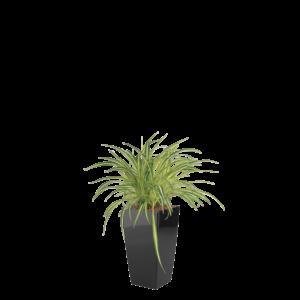 Luftrensende plante Chlorophytum,