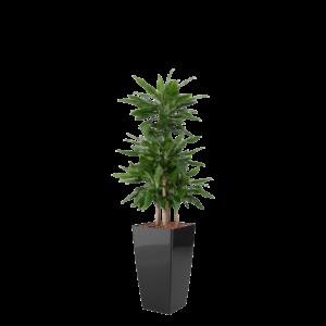 Luftrensende plante Dracaena,