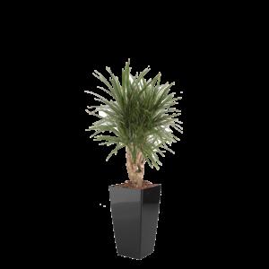 Luftrensende plante Marginata,