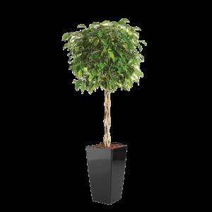 Luftrensende plante Ficus,