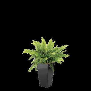 Luftrensende plante Bregne,