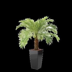 Luftrensende plante Phoenix,