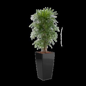 Luftrensende planter, rhapis