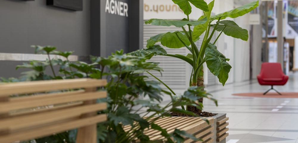 Alocasia, plante,