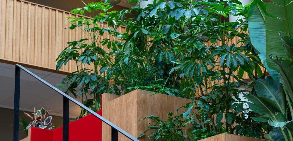 Schefflera Amata, gelender, plantekasser,